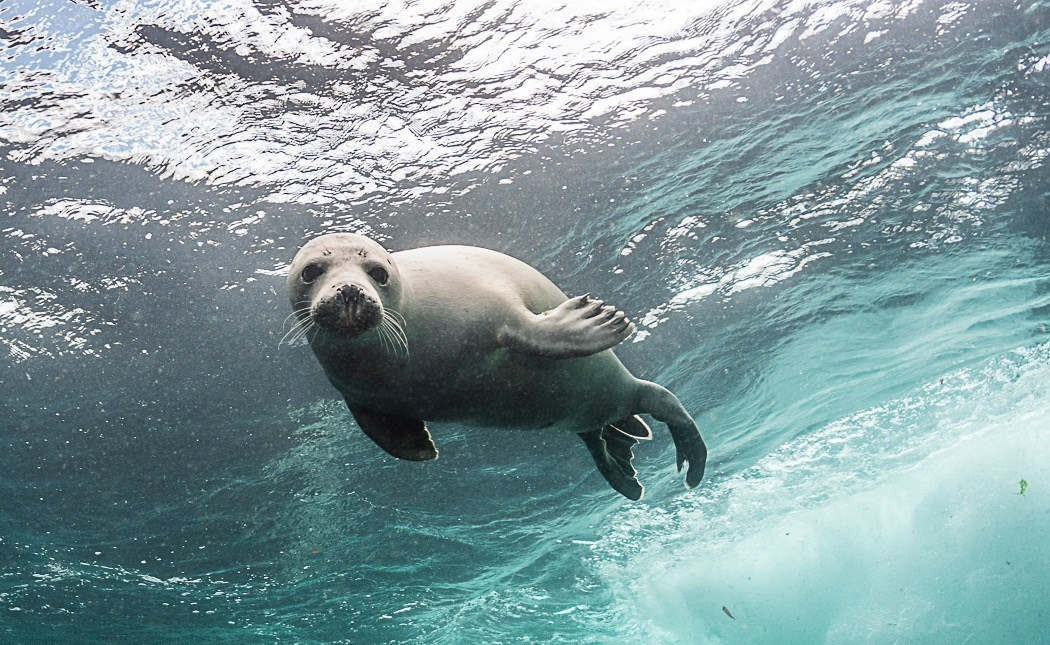 Seal swimming under wave